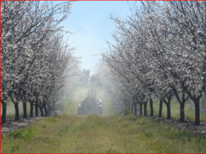 Blooming almond trees being sprayed.